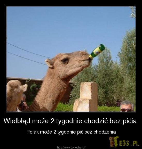Wielbłąd może...